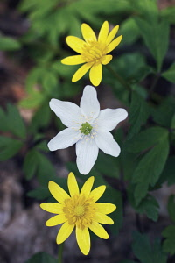 Lessercelandine, Ranunculus ficaria.