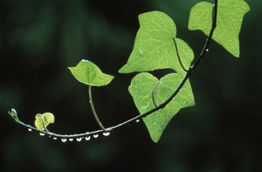 Ivy, Hedera helix.