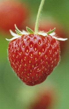 Strawberry, Fragaria x ananassa 'Pandora'.