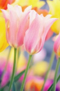 Tulip, Tulipa.