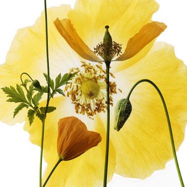 Poppy, Welsh poppy, Meconopsis cambrica.