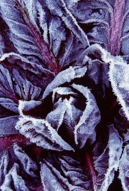 Radicchio, Cichorium intybus.