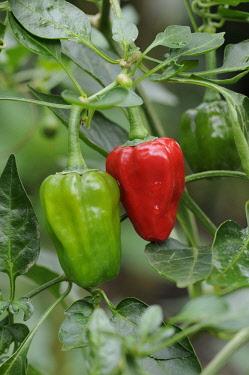 Pepper, Sweet pepper, Capsicum annuum.