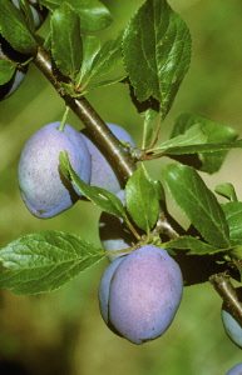 Plum, Prunus domestica.
