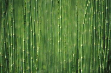 Horsetail, Water horsetail, Equisetum fluviatile.