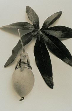 Passion flower, Passiflora caerulea.