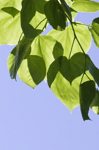 Lime tree, Linden, Tilia.