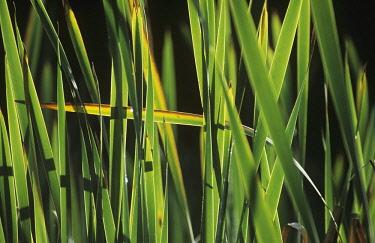 Reeds, Sedge, Phragmites.