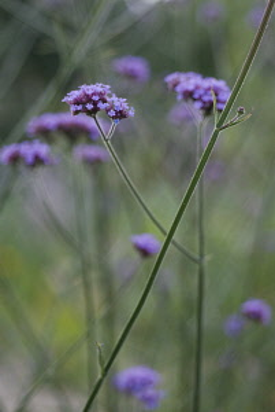 Verbena, Brazilian verbena, Verbena bonariensis.