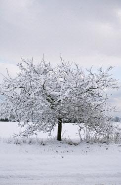 Oak, Acorn, Quercus.