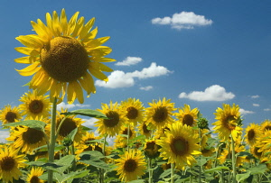Sunflower, Helianthus.