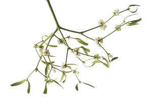 Mistletoe, Viscum album.