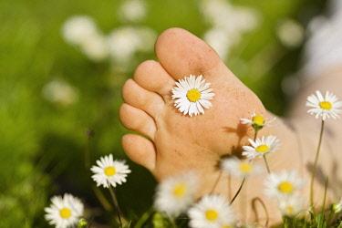 Daisy, Lawn daisy, Bellis perennis.