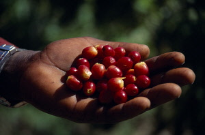 Coffee, Coffea arabica, Cropped shot of hand holding ripe coffee beans. West Indies, Jamaica,