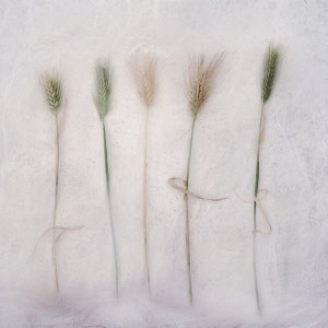 Barley, Hordeum cultivar. Digitally manipulated image of five stems of Barley against softened, muted background creating effect of illustration.