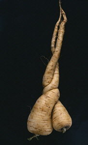 Parsnip, unusual shaped Pastinaca sativa.
