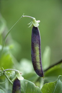 Pea, Pisum sativum. Purple pea pod hanging from bent stem.