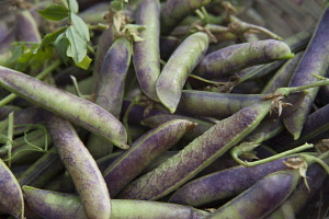 Pea, Pisum sativum 'Purple podded'. Harvested peas with purple and green pods.