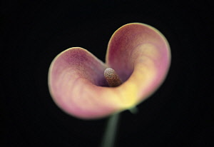 Arum Lily, Calla lily, Zantedeschia, angle of view creating a heart shape with selective focus to the centre.