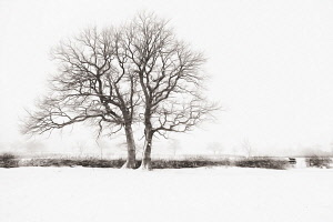 Bare winter trees in a hedgerow surrounded by a snow covered landscape. Manipulated with a swirly painterly filter effect.