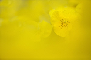 Horned violet, Viola cornuta 'Sorbet XP Yellow', single flower just visible behind a blur of yellow.