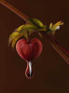 Bleeding heart, Dicentra spectabilis 'Valentine', A dark red stem bearing grey-green leaves and a red heart shaped flower with white tip. Shot against a maroon background.