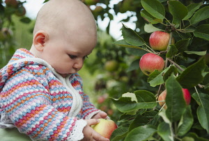 Apple, Malus domestica 'Discovery', A baby in a patterned cardigan holding an apple and looking at it, next to a tree with other red apples growing on it.
