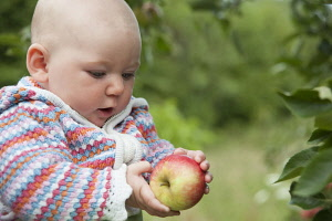 Apple, Malus domestica 'Discovery', A baby in a patterned cardigan holding an apple and looking at it.