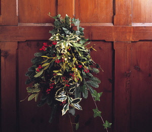 Mistletoe, Viscum album. ivy, hedera helix, Holly, Ilex aquifolium 'Silver Queen' with red berries and fir or sprucem All combined in a bunch and hung on dark wood panelling as a Christmas decoration.