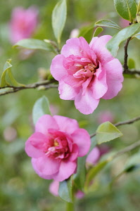 Camellia, Camellia 'Sparkling Burgundy', One sharp focus pink flower and one soft focus behind on thin twigs with leaves.