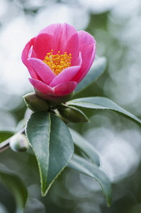 Camellia, Camellia x williamsii 'Bartley Pink', One deep pink flower opening to reveal orange stamens inside.