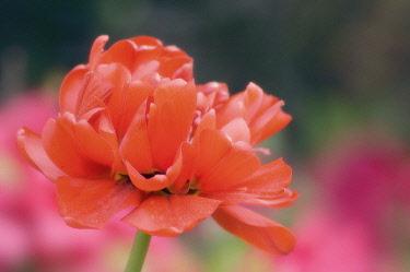 Tulip, Tulipa 'Miranda', Close up of orange coloured flower.