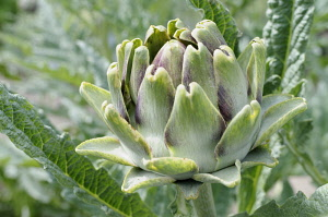 Globe Artichoke, Cynara scolymus, Close up of the fllowerhead growing outdoor.-
