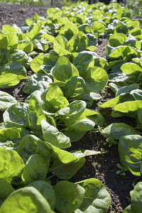 Spinach 'Fiorana', Spinacea oleracea 'Fiorana', Mass of green leaves growing outdoor.