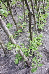 Runner bean,	Phaseolus coccineus, Growinf outdoor entwined around wooden branches.