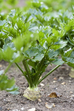 Celeriac, Apium graveolens rapaceum 'Monarch', Root vegetable growing in allotment.