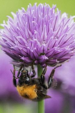 Chive, Allium schoenoprasum, Tree Bumble Bee, Bombus hypnorum, feeding  on flower in a garden border.