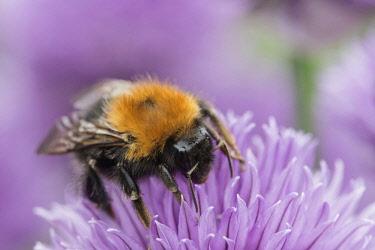 Chive, Allium schoenoprasum, Tree Bumble Bee, Bombus hypnorum, feeding  on flower.
