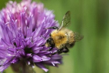 Chive, Allium schoenoprasum, Tree Bumble bee, Bombus hypnorum, pollinating purple coloured flower.