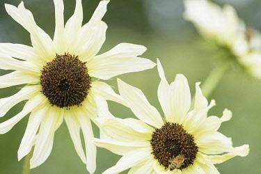 Sunflower 'Italian White', Helianthus annuus 'Italian White', Two yellow flowers growing outdoor.