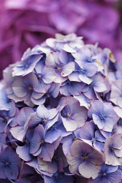 Hydrangea, Mauve coloured flowerhead growing outdoor.