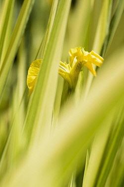 Iris, Yellow flower seen through green foliage growing outdoor.