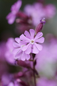 Campion, Red campion, Silene dioica, Pink coloured flowers growing outdoor.
