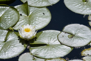Water lily, White water lily,Nymphaea alba, Single flower growing outdoor on water.