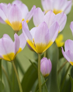 Tulip, Tulipa, Group of pink flowers with yellow centres growing outdoor.