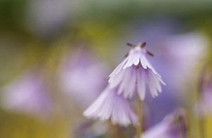 Snowbell, Soldanella 'Sudden Spring', Mauve coloured flower growing outdoor.