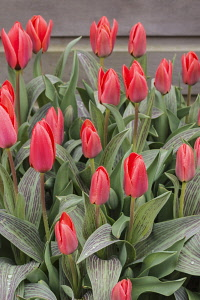 Tulip, Tulipa, Red flower buds covered in raindrops.