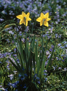 Daffodil, Narcissus, Yellow subject.