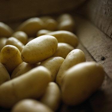 Potato, Solanum tuberosum 'Charlotte', Yellow subject.