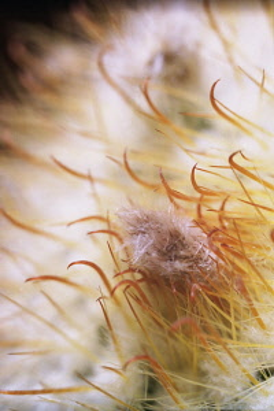 Cactus, Parodia mutabilis, Close up detail of flower stamen.
